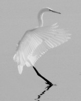 B&W Wildlife/Birds